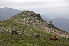 Vuoristohevoset - Horses in the mountains (Janne Maikkula) Tags: horses horse hevosia hevonen villihevosia vuoristo mountains luonto nature portugal animal elin eläimiä animals kiviä kallio rock stones kesä summer