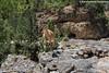 Cretan goat (RedHotChiliEntzi) Tags: capra aegagrus creticus endemic subspecies feral goat white mountains samaria gore national park nature mammal canon canon7dmark2 canon7d canon7dmarkii crete chania