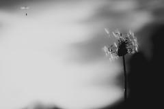 Stay With Me (DonKamilo1984) Tags: dandelion black white art alone dark blackwhite