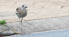 "Bush Stone-Curlew • <a style=""font-size:0.8em;"" href=""http://www.flickr.com/photos/146187037@N03/37802045251/"" target=""_blank"">View on Flickr</a>"