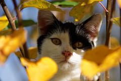 Jimmy_6 (Mitobaehr) Tags: katze cat portr portrait baum tree herbst autum leaf blatter bunt farben