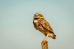 Burrowing Owl (Bob Gunderson) Tags: athnecunicularia birds burrowingowl california centralvalley northerncalifornia owls robinsonroad solanocounty