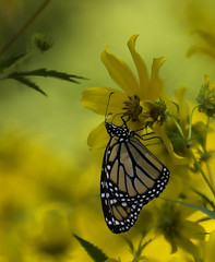 MonarchButterfly_SAF1437 (sara97) Tags: danausplexippus butterfly copyright©2017saraannefinke endangered insect missouri monarch monarchbutterfly nature outdoors photobysaraannefinke pollinator saintlouis towergrovepark