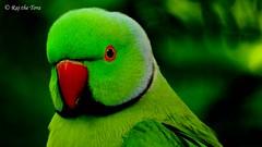 School Boy Parakeet! (Raj the Tora) Tags: psittaculakrameri psittacula parakeet parrotspecies rednose greenbody parakeetafterdiwali nature wild wildlife mumbai bird tree macro wood bombay bombayparakeets mumbaiparakeets