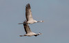 Jeřáb popelavý (Grus grus) v letu, Bohdanečský rybník (Pavel Trhon) Tags: ptáci pták vodní water bohdaneč rybník pond birds let flight