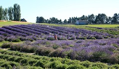 39/52 Lavender Farm in Sequim (Bella Lisa) Tags: lavender farm sequim lavenderfarminsequim olympicmountains washington