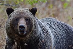 Grizzly Portrait - 1149b (teagden) Tags: grizzly grizzlybear bear grizz portrait closeup jenniferhall jenhall jenhallphotography jenhallwildlifephotography wildlifephotography wildlife wyoming wyomingwildlife photography nikon wild nature naturephotography