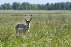 Pronghorn Antelope_T3W0702 (Alfred J. Lockwood Photography) Tags: alfredjlockwood nature wildlife wildscape grandtetonnationalpark pronghornantelope afternoon meadow grasses field wyoming summer