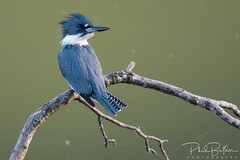 Belted Kingfisher (philbutlerphoto) Tags: belted kingfisher bird wildlife roy guerrero park austin atx texas animal megaceryle alcyon teal blue water branch stick spider web nikon d7100