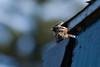 Chincol (Zonotrichia capensis) (Andres Bertens) Tags: 3313 canoneos70d canonef70200mmf4lisusm rawtherapee canon70200f4l chincol sparrow