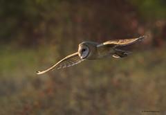 Hunting at dusk (shimmeringenergy) Tags: barnowl chouetteeffraie tytoalba canoneos7dmarkii ef100400f4556lisiiusm britishcolumbia