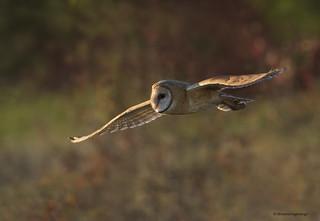 Hunting at dusk