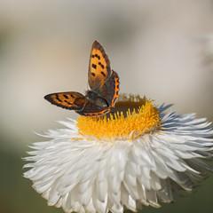 Prendre la tangente **---+°--° (Titole) Tags: butterfly orange papillon titole nicolefaton everlastingflower white squareformat cuivré unanimouswinner thechallengefactory 15challengeswinner gamex2