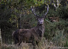 Alpha Male Red Deer (AKphotographyStaffordshire) Tags: akphoto akphotography weller karl amanda d500 nikon stafford staffordshire stag alphamale deer red