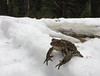 Boreal Toad (jjdorsey57) Tags: bc jjdorsey57 bigwhite borealtoad