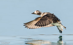 Long-tailed Duck (salmoteb@rogers.com) Tags: bird wild duck outdoor longtailed inflight toronto canada sky water