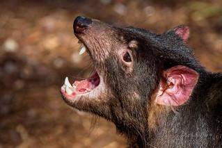 Tasmansk Djævel - Tasmanian Devil - Sarcophilus harrisii -  Københavns ZOO - DK-8089