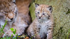 Staying close to mom (CecilieSonstebyPhotography) Tags: cub catfamily portrait eurasianlynx lynx closeup baby cat canon kitten 6weeksold lynxkitten markiii daughter gaupe lynxbaby langedrag lynxcub canon5dmarkiii mom july eyes ef100400mmf4556lisiiusm nose eartufs ears specanimal