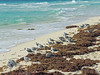 En la orilla (Sonia Fdez) Tags: flickr mar ocean beach sun waves ave animal fauna sand shore algas nature naturephotography mexico cancun quintanaroo blue