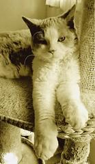 Néo... (Antiphane) Tags: cat chat chaton kitten selkirk rex pet animal de compagnie