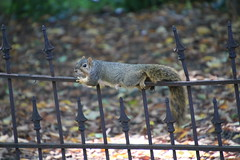120/365/3407 (October 9, 2017) - Squirrels in Ann Arbor at the University of Michigan (October 6th & 9th, 2017)
