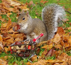 grey squirrel  with shopping trolley cart  in park autumnleafs on grass . (10) (Simon Dell Photography) Tags: sheffield botanical gardens city park 2017 simon dell photography pan statue wood spirit god woods grey squirrel cute awesome funny countryfile springwatch autumn fall leafs uk england october weatjher seasonal with shopping cart trolley micro toy model coke bottle coca cola knuts conkers photo pic