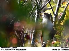 Yellow-billed Cuckoo (Bill.Thompson) Tags: yellowbilledcuckoo coccyzusamericanus monheganisland me birds