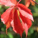 Rotes Herbstlaub in der Sonne thumbnail