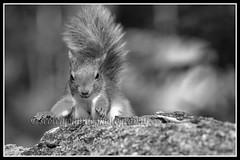 IMG_0161 Red Squirrel Mono (Scotchjohnnie) Tags: redsquirrel sciurusvulgaris squirrel squirrelphotography mammal rodent wildlife wildlifephotography wildandfree nature naturephotography naturewildlifeandbirds closeup blackwhite mono canon canoneos canon7dmkii canonef100400f4556lisiiusm scotchjohnnie northeastengland