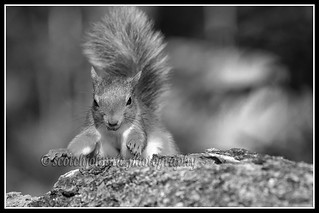 IMG_0161 Red Squirrel Mono