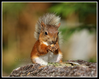 IMG_0160 Red Squirrel