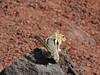 Golden Mantled Ground Squirrel, Lava Butte, Oregon (martes92) Tags: animals wildlife oregon newberryvolcanicpark lavabutte goldenmantledgroundsquirrel