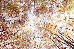 Veder cadere le foglie (margot 52) Tags: bosco autunno highkey sovraesposizione foglie colori prospettiva nazimhikmet