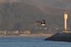IMG_6433 (armadil) Tags: mavericks beach beaches californiabeaches bird birds pelican pelicans harbor flying sunset