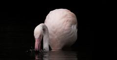 flamingo (Nik He) Tags: zoo tierpark 18250mm 18250 superzoom sigma eos 700d canon 800 iso splash spritzer trinken waterdrops drops water pink vogel tier wingst flamingo