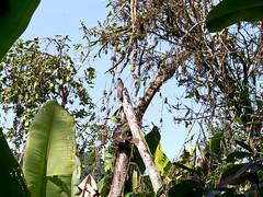 Urutau-Tagschläfer (Eerika Schulz) Tags: urutau tagschläfer common potoo nyctibius griseus mindo ecuador jardín ecobotánico eco botanico eerika schulz