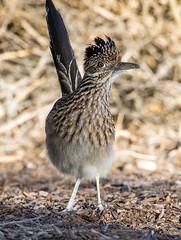 Roadrunner (Ed Sivon) Tags: american america canon nature lasvegas wildlife wild western southwest desert clarkcounty clark vegas bird henderson nevada nevadadesert preserve