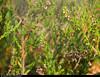 20170726_1 Nursery web spider (Pisaura mirabilis) & gossamer in heather (Calluna vulgaris) | Bohusleden section 5 - Jonsered to Angereds Kyrka | Near Gothenburg, Sweden (ratexla) Tags: ratexlasbohusledenhike bohusleden bohusledenetapp5 26jul2017 2017 canonpowershotsx50hs gothenburg göteborg goteborg nature sweden sverige scandinavia scandinavian europe nordiccountries norden skandinavien beautiful earth tellus photophotospicturepicturesimageimagesfotofotonbildbilder hiking hike plant plants life organism botany biology ljung heather callunavulgaris spider spiders nonhumananimal nonhumananimals animal animals cute cool invertebrate invertebrates wildlife zoology djur ryggradslösadjur spindel spindlar horror skräck macro europaeuropean almostanything favorite nurserywebspider pisauramirabilis journey vacation holiday semester resaresor landscape scenery scenic ontheroad sommar