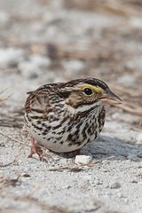 Savannah Sparrow  (c) 2010 Paul Thomas All rights reserved. Merritt Island NWR, Florida