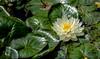 lotus blossom (alain01789) Tags: flowers fleurs lotus nature velvia
