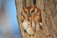 Eastern Screech Owl (Eric Gerber) Tags: screechowl bird birds eastern ericgerber forest nest nesting owl owls raptor screech tree trees wild wildlife woods