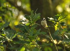 Long Tailed Tit (Aimee Goold) Tags: long tailed tit bird birds woods nature wildlife longtailedtit wildlifephotography birdphotography trees green