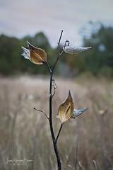 Sculpted (Laura Simonsen Braun) Tags: ludington michigan autumn fall weeds