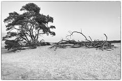 Hoge Veluwe (dacfinger) Tags: sand dünen baum landschaft dunes trees landscape hogeveluwe kröllermüller