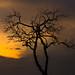Swaziland - Sunset Tree (Hlane National Park)