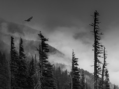 where witches and wizards fly (marianna_a.) Tags: halloween landscape raven trees spooky foggy washington usa p1170395 bw monochrome greyscale mariannaarmata