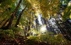 autumnal forest (bernd obervossbeck) Tags: herbst autumn autumnleafs herbstblätter herbstfarben coloursofautumn sauerland hochsauerland mischwald mixedforest mixedwoodland wald forest natur nature fujixt1 xf1024mmf4rois berndobervossbeck