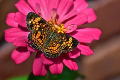 Pearl Crescent Butterfly (deanrr) Tags: backyardbutterfly pearlcrescent butterflyonflower butterfly morgancountyalabama nature outdoor flower alabama 2017 summer