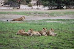 Löwen / Lions (brainstorm1984) Tags: big5 lioness boteti lioncub safari löwen makgadikgadi junge elangeniafricanadventures cub cubs jungtier desertdeltasafaris lioncubs botetiriver lion pantheraleo botswana junglöwe junglöwen wildlife löwin makgadikgadipansnationalpark wildfelinephotography löwenjunge leroolatau jungtiere löwenjunges makgadikgadipansgamereserve löwe lions bigfive centraldistrict botsuana bw