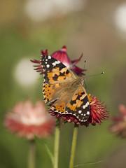 Escale gourmande * (Titole) Tags: papillon titole butterfly everlastingflower belledame paintedlady